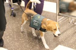 検疫犬隊 ビーグル犬